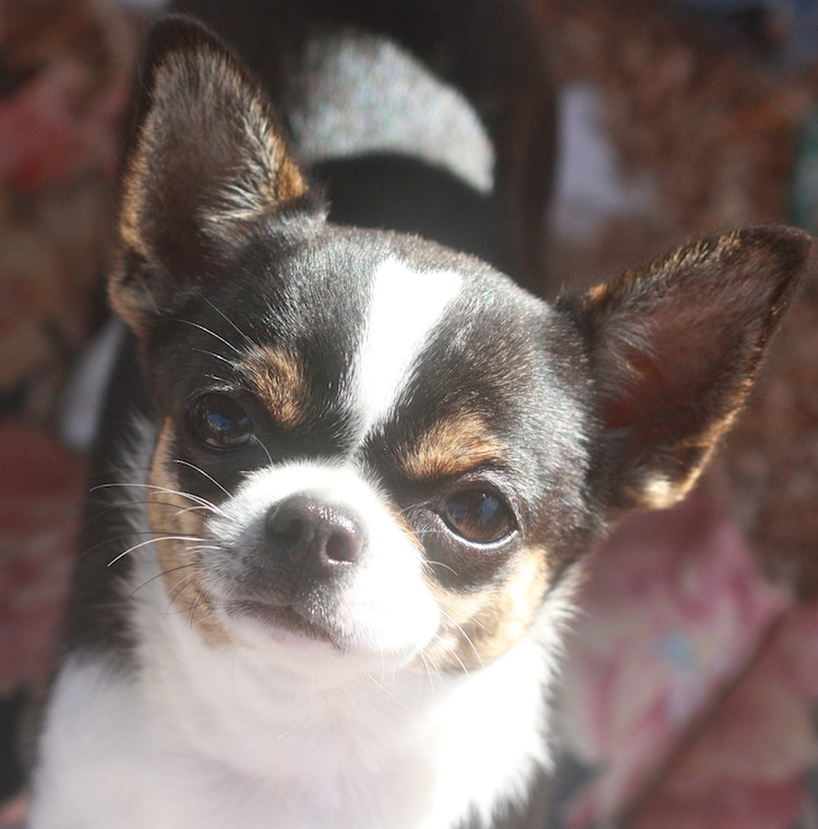 Specializing in Teacup Chihuahua Puppies for sale, Chihuahua