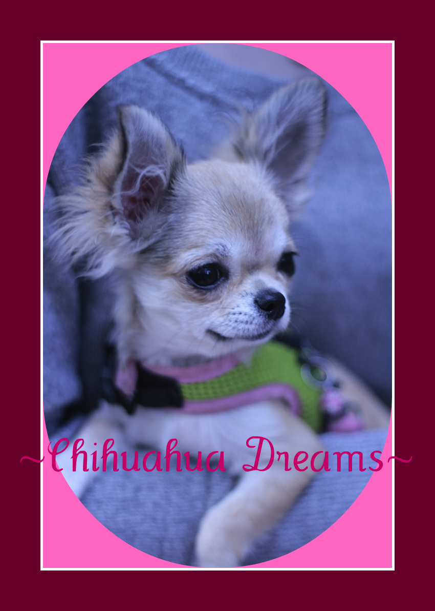 Teacup Applehead Chihuahua Puppies for Sale